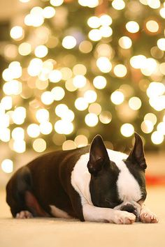 I want this dog so much. he's so pretty    Howie the Boston Terrier Puppy - Christmas Tree Bokeh by kevinandamanda, via Flickr