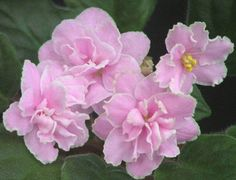 African Violet Plant Camelot Pink RARE Vintage Eyerdom Beauty | eBay This is a gorgeous variety from the Eyerdoms of the famous Granger Gardens greenhouses in Medina Ohio, and it's one that deserves a place in any collection. Its vibrant pink blooms are really eye-catching.  Here is the description from the AVSA Master Variety List/First Class II database:  Camelot Pink (4293) 02/21/1981 (Eyerdom) Double light-medium pink/white fluted edge. Plain. Large