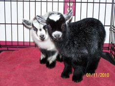 Pygmy goats at Porterville location.