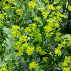 Harört 'Griffithii' i gruppen Fröer / Ettåriga blomsterväxter / Bladväxter hos Impecta Fröhandel (2070)