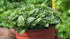 Jak pěstovat bylinky? Love The Earth, Plastic Waste, Aloe Vera, Pesto, Flora, Eco Friendly, The Creator, Gardening, Make It Yourself