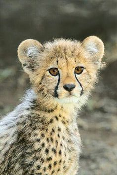 we are best Reliable and suppliers of cheetah cub's worldwide. Our shipping and delivery is safe and convenient. We are ready to sell and supplies the cheetah cub's World Wide Call/text or WhatsApp us via Cute Baby Animals, Animals And Pets, Funny Animals, Wild Animals, Big Cats, Cute Cats, Cats And Kittens, Beautiful Cats, Animals Beautiful
