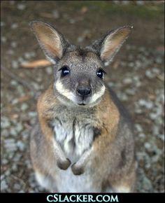 wallaby!