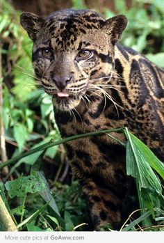 Newly (2007) discovered leopard species, Bornean clouded leopard oh my! what a beauty! love the markings and colors .