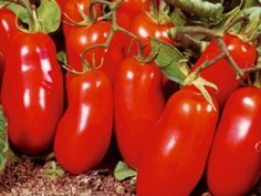 Rajče tyčkové červené San Marzano 3 - semena rajčat g, 50 ks - Semeniště. Fruit Seeds, Tomato Seeds, Bonsai Seeds, Tree Seeds, Tomato Vegetable, Vegetable Garden, Planting Succulents, Planting Flowers, Succulent Plants