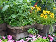 Plant alpine strawberries, marigolds and catnip in rustic containers made from old crates giving a patio garden a naturalistic look.