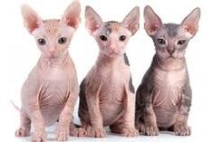Image result for How much are sphynx cats