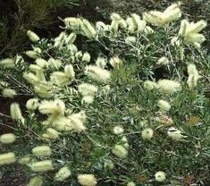 seeds of these wonderful bottlebrush shrub Callistemon Pallidus Lemon Bottlebrush. A branching shrub to ft and about ft wide. Yard Design, Site Design, Design Ideas, African Plants, Online Nursery, Screen Plants, Australian Wildflowers, Tree Seeds, Native Plants