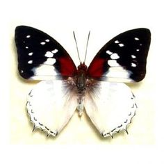 Charaxes Red Spot Real Butterfly Conservation Display 625 via Etsy Papillon Butterfly, Art Papillon, Butterfly Frame, Butterfly Kisses, Butterfly Wings, Flying Insects, Bugs And Insects, Beautiful Bugs, Beautiful Butterflies
