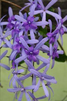 Queen's Wreath, Sandpaper Vine, Blue Petrea, Purple Wreath Petrea volubilis From Almost Eden Plants