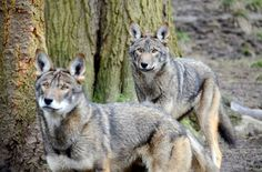 Red wolf pair at Point Defiance Zoo and Aquarium
