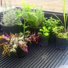 Customer purchase 2types of #lavender #laksa #fig #peppermint #wandering jew #lemongrass to good home only $64 you can also purchase by previous customer purchases