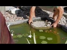 How to Grow Water Lily | Plant Seeds, Bulbs & seedlings for Sale