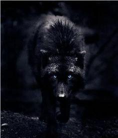 Black Wolf With Ice Blue Eyes Photo by Atheneofslovenia | Photobucket