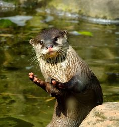 Das otter haus photos | The Daily Otter | OMG Otters! | Page 5
