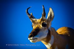 Google+  Our latest Sneak Peek photograph on our Google+ page.  'Curious Pronghorn'