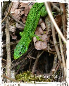 © Popote et Nature - lézard vert