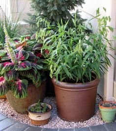 Container Gardening with Ornamental Grasses *****A wonderful site for grasses and willows!!