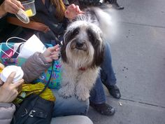 Lap dog in #NYC