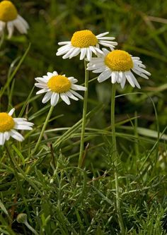 This site –Plantlife – has a great guide to British wildflowers http://www.plantlife.org.uk/wild_plants/plant_species/ | Chamomile | © Bob Gibbons/Plantlife