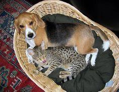 The Misunderstood Serval or Savannah Cat Serval, Beautiful Creatures, Savannah Chat, Cute Animals, Friends, Cats, Pretty Animals, Amigos, Gatos