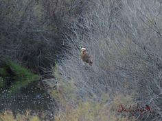 Marsh Harrier, Aguilucho lagunero (Circus aeruginosus)