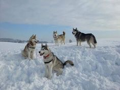 Karen Pawpack's Siberian Huskies in their element... SNOW. I'm not sure I'm ready for the snow, but I know my huskies are.