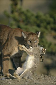 A Female Mountain Lion Photograph by Norbert Rosing