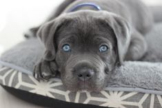 8 Best Blue Cane Corso Puppies Images Blue Cane Corso Cane Corso