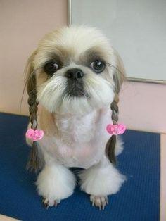Shih Tzu with braided ears!