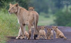 Lion supermom with her five cubs, Kruger National Park, South Africa by Hendri Venter Animals And Pets, Baby Animals, Cute Animals, Wild Animals, Wild Life, Beautiful Cats, Animals Beautiful, Beautiful Family, Lioness And Cubs