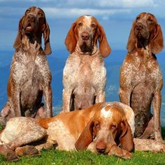The Bracco Italiano is a breed of dog developed in Italy as a versatile gun dog. Wikipedia Temperament: Playful, Loyal, Companionable, Stubborn, Affectionate, Trainable