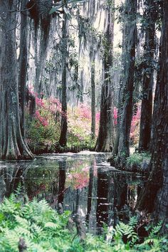 Cypress Gardens 1978    I scanned this from an old photo. Been saving it for spring. Charleston is in all its glory now. We are fast moving to peak here in upper SC