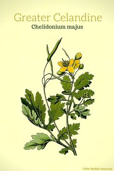 Greater Celandine (Chelidonium majus) Another study found that when its was ingested in the form of a cough syrup or extract (equivalent to 15 g of herb pr. day) it resulted in overall improvement in about 80% of a group of patients suffering from chronic bronchitis.