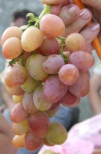 Фотовернисаж Сорта винограда - Частный сайт Пузенко Натальи Лариасовны