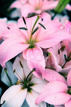 Memorial Day Pink Blush Lillies