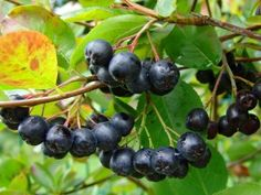 Aronia melanocarpa is a shrub. Aronia melanocarpa is a species in the genus Aronia which contains between 3 and 9 species and belongs to the family of the Rosaceae (Rose Family). Best Fruits, Healthy Fruits, Healthy Food, Permaculture, Aronia Melanocarpa, Small Shrubs, Plant Diseases, In Natura, Cold Frame