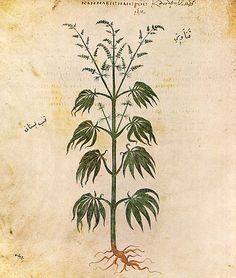 Cannabis (drug) - Wikipedia