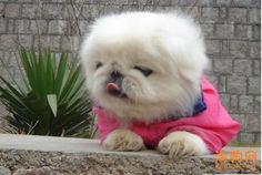 玩赏小型京巴犬 Ching Ching my chong :)