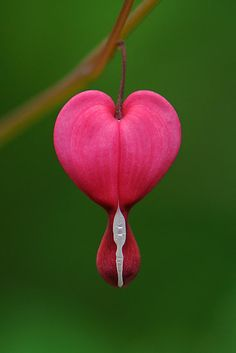 Dicentra spectabilis by JHRphotoART  (Bleeding Heart Flower)
