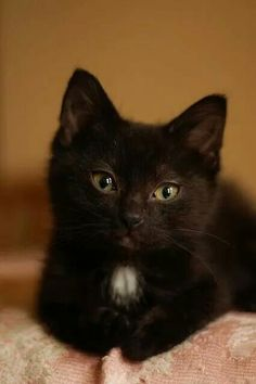 black kitten looks exactly like my kitty boo boo-ac Pretty Cats, Beautiful Cats, Animals Beautiful, I Love Cats, Crazy Cats, Cute Cats, Funny Cats, Kittens Cutest, Cats And Kittens