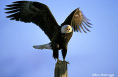 Google Image Result for http://www.wildnatureimages.com/A%2520to%2520C3000/BALD-EAGLE-SCHREECH-2..jpg