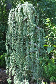 This is a Weeping Blue Atlas Cedar