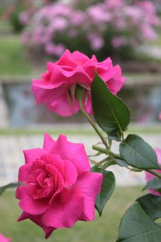 Beautiful Flowers Images, Beautiful Flowers Wallpapers, Flower Images, Beautiful Roses, Tea Roses, Pink Roses, Red Flowers, Pretty Flowers, Good Morning Flowers