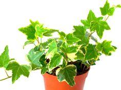 Kasviopas: helpot huonekasvit