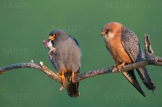 Red-footed Falcon pair