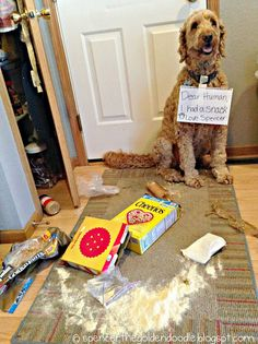#Goldendoodle #DogShaming