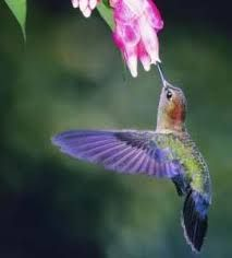 Image result for hummingbird eating nectar from a flower