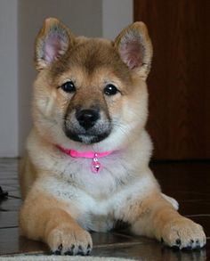 cute kawaii shiba inu Japanese Dog Breeds, Japanese Dogs, Really Cute Puppies, Cute Baby Dogs, Newborn Puppies, Baby Puppies, Funny Puppy Pictures, Puppy Cuddles, Akita Dog