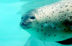 Harbor seal by floridapfe, via Flickr
